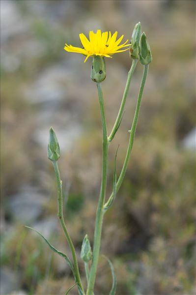 Scorzonera hispanica subsp. crispatula (DC.) Nyman