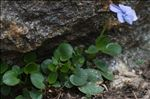 Photo 7/8 Viola argenteria Moraldo & Forneris