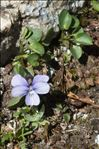 Photo 3/8 Viola argenteria Moraldo & Forneris