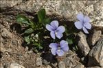 Photo 2/8 Viola argenteria Moraldo & Forneris