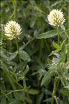 Photo 5/6 Trifolium pannonicum Jacq.