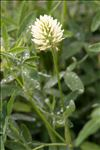 Trifolium pannonicum Jacq.