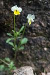 Photo 14/14 Viola roccabrunensis M.Espeut