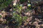Photo 12/14 Viola roccabrunensis M.Espeut