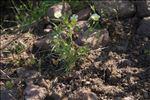 Viola roccabrunensis M.Espeut