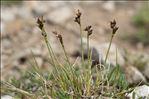 Carex glacialis Mack.