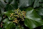 Photo 1/1 Hedera helix L.