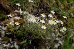 Helianthemum apenninum (L.) Mill.