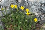 Helianthemum nummularium (L.) Mill.