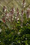 Hedysarum boutignyanum (A.Camus) Alleiz.