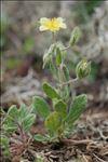 Helianthemum salicifolium (L.) Mill.