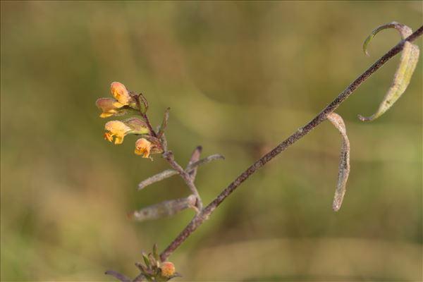 Odontites jaubertianus (Boreau) D.Dietr. ex Walp. var. jaubertianus