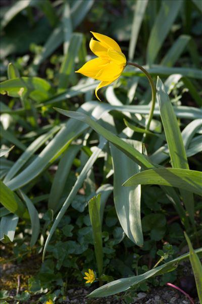 Tulipa sylvestris L. subsp. sylvestris