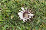 Carlina acaulis subsp. caulescens (Lam.) Schübler & G.Martens