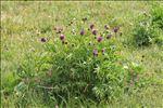 Photo 5/5 Centaurea scabiosa subsp. alpestris (Hegetschw.) Nyman