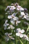 Hesperis matronalis L.