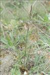 Koeleria vallesiana (Honck.) Gaudin subsp. vallesiana