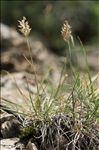 Koeleria vallesiana subsp. humilis Braun-Blanq.