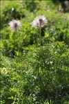 Anemone alpina L. subsp. alpina