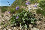 Scabiosa lucida Vill. subsp. lucida