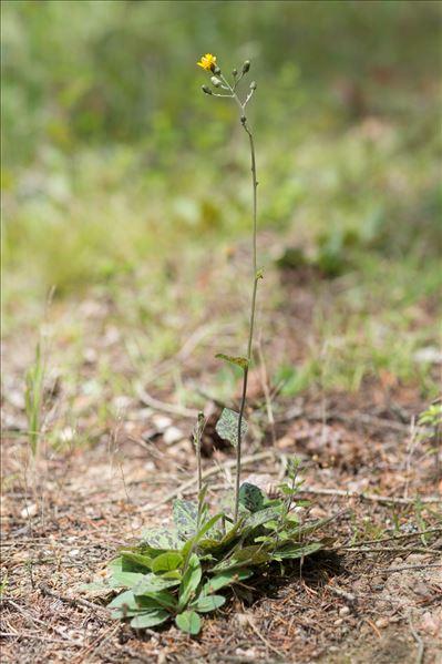 Hieracium maculatum Schrank