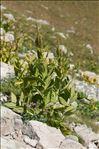 Veratrum album subsp. lobelianum (Bernh.) K.Richt.