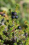 Empetrum nigrum subsp. hermaphroditum (Hagerup) Böcher