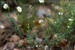 Cistus umbellatus L. subsp. umbellatus