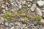 Amaranthus blitum subsp. emarginatus (Salzm. ex Uline & W.L.Bray) Carretero, Muñoz Garm. & Pedrol