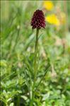 Gymnadenia nigra (L.) Rchb.f.