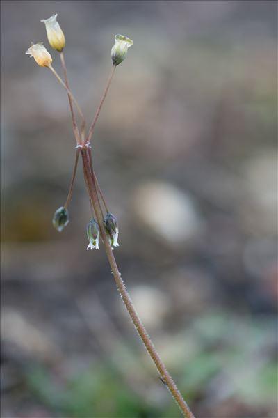 Holosteum umbellatum L.