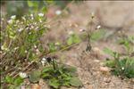 Photo 4/6 Holosteum umbellatum L.