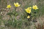 Anemone alpina subsp. apiifolia (Scop.) O.Bolòs & Vigo