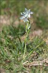 Honorius nutans (Sm.) Gray
