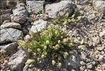 Sesamoides pygmaea (Scheele) Kuntze