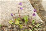 Soldanella alpina L. subsp. alpina
