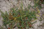 Asparagus officinalis subsp. prostratus (Dumort.) Corb.