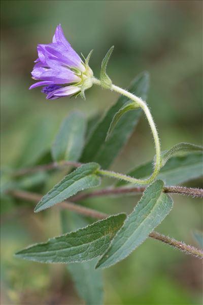 Campanula glomerata L. subsp. glomerata