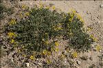 Photo 5/5 Coronilla minima subsp. lotoides (W.D.J.Koch) Nyman