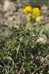 Photo 4/5 Coronilla minima subsp. lotoides (W.D.J.Koch) Nyman