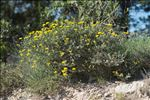 Coronilla minima subsp. lotoides (W.D.J.Koch) Nyman