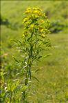 Euphorbia esula subsp. saratoi (Ardoino) P.Fourn.