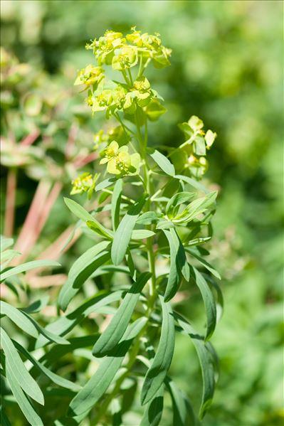 Euphorbia esula subsp. tommasiniana (Bertol.) Kuzmanov