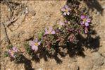 Photo 7/9 Frankenia laevis L.
