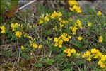 Genista pilosa L. subsp. pilosa