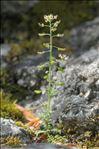 Hornungia petraea (L.) Rchb.