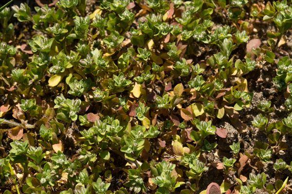 Polycarpon tetraphyllum (L.) L. subsp. tetraphyllum