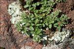 Polycarpon tetraphyllum subsp. alsinifolium (Biv.) Ball