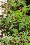 Photo 1/1 Amaranthus deflexus L.