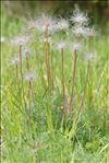 Anemone pulsatilla L. subsp. pulsatilla